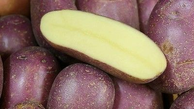 Potato Seed - ROYAL BLUE - Purple Skin & Yellow Flesh - Great Tasting - 8 tubers