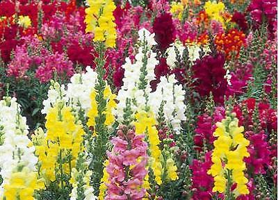 Snapdragon Seeds - Antirrhinum Floral Showers Mixed - F1 Hybrid - 50+ Seeds