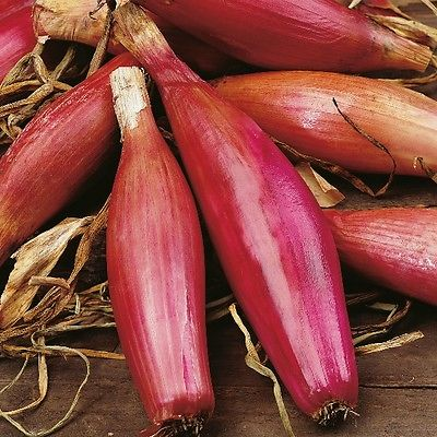 Onion Seeds - LONG RED FLORENCE - Torpedo Shaped Red Onion -Gmo Free - 50+ Seeds
