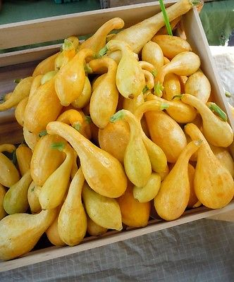 Squash Seeds - EARLY YELLOW CROOKNECK - Low Calorie, Versatile Fruit - 10 Seeds