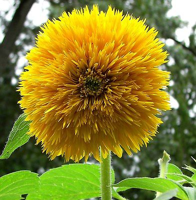 Sunflower Seeds - DWARF DOUBLE SUNGOLD - Helianthus Annuus - UNIQUE - 10 Seeds