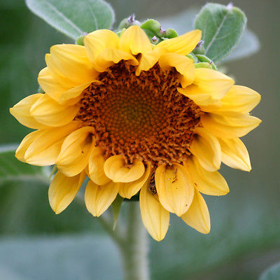 Sunflower Seeds - PEACH PASSION - Helianthus Hybridus F1 - Annual - 10 Seeds