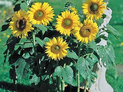 Sunflower Seeds - MUNCHKIN - Small Sunflower Variety - Annual - 10 Seeds