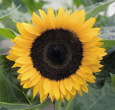 Sunflower Seeds - SOLARA - Helianthus Annuus - Pollen Free Annual - 10 Seeds