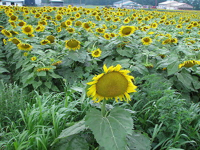 Sunflower Seeds - MAMMOTH RUSSIAN - Helianthus Annuus - GIGANTIC - 10 Seeds