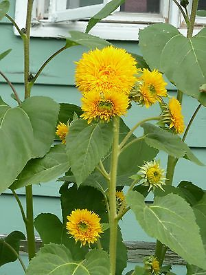 Sunflower Seeds - GIANT SUNGOLD -Helianthus Annuus-Chrysanthemum-Like - 10 Seeds