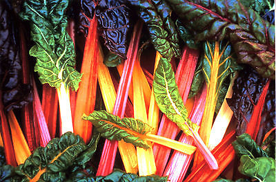 Swiss Chard Seeds - BRIGHT LIGHTS - Colorful Variety -theseedhouse- 20 Seeds