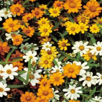 Zinnia Seeds - STAR BRIGHT MIXED - Gold, Orange and White - 25 Heirloom Seeds