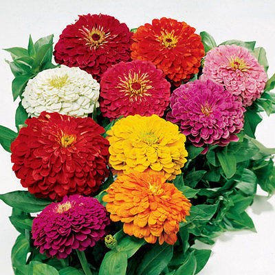 Zinnia Seeds - POM POM - Multicolor - Beehive-Shaped Flowers - Annual - 25 Seeds