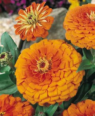 Zinnia Seeds - ORANGE KING - California Giant - Drought Tolerant - 20+ Seeds