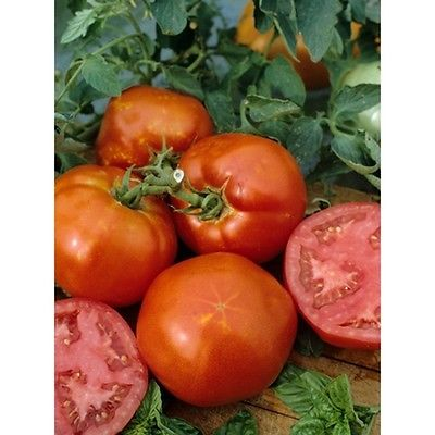 Tomato Seeds - HOMESTEAD - Productive Variety - Heirloom - Cookinmom - 25 Seeds
