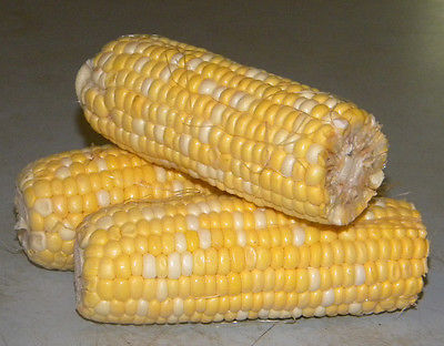 Sweetcorn Seeds - HONEY & CREAM - Tender Yellow and White Combo - 200+ Seeds