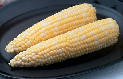 Sweetcorn Seeds - AMBROSIA - Sugar Enhanced Bi-Color - 8 Inch Ears - 50 Seeds