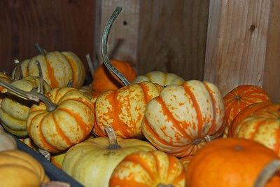Pumpkin Seeds - HOOLIGAN - Trailing Vine - Sweet Tasting Vegetable - 10 Seeds