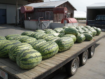 Watermelon Seeds - CAROLINA CROSS GIANT  - HUGE 200 LB. - GMO FREE - 10 Seeds