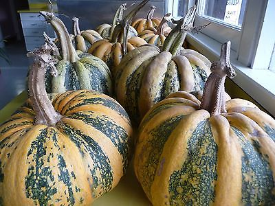 Pumpkin Seeds - TONDA PANDA - UNIQUE / RARE - Edible & Decorative - 10 Seeds