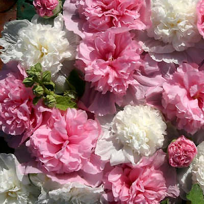 Hollyhock Seeds - THE BRIDESMAID - Butterly Favorite - Alcea - 25 Seeds