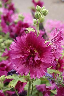 Alcea Rosea Seeds - QUEENY PURPLE - Hollyhock - Drought Tolerant - 25 Seeds