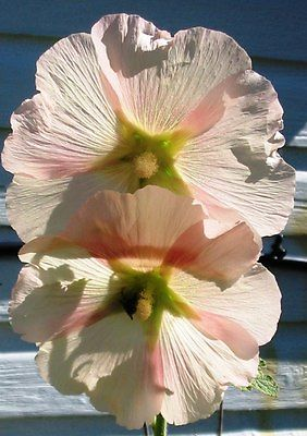 Hollyhock Seeds - PEACH - Biennial - Garden Heirloom - Gmo Free -  25+ Seeds
