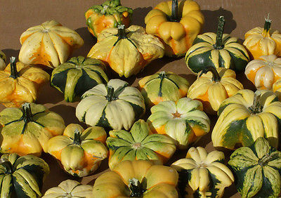 Gourd Seeds - SMALL DAISY MIX - Unique Mix of Small Gourds - ORGANIC - 10 Seeds