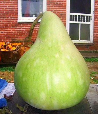 Gourd Seeds- MARTINHOUSE BOTTLE - Great for Drying & Decorating - 10 Seeds