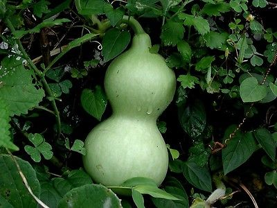 Gourd Seeds - GIANT WATER JUG - Great for Drying & Decorating -NON GMO- 10 Seeds