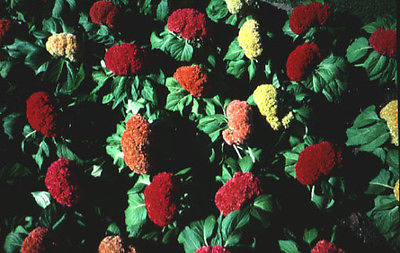 Celosia Seeds - CHIEF ROSE - Colorful Dry Flower Heads * theseedhouse *25+ Seeds