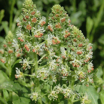 Mignonette Seeds - Sweet Scented - Heritage Variety - Fragrant - 30+ Seeds