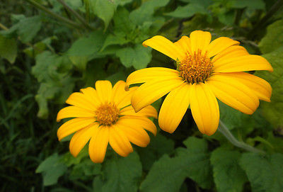 Tithonia Seeds - YELLOW TORCH - Mexican Sunflower - Drought Tolerant - 20 Seeds