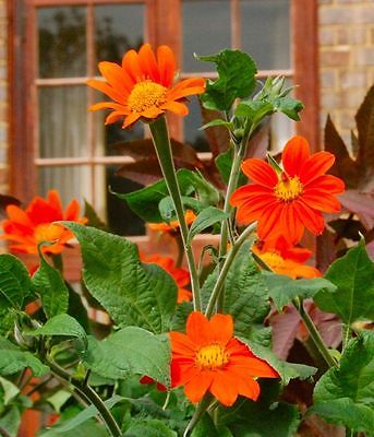 Tithonia Seeds - ORANGE TORCH - Mexican Sunflower - Drought Tolerant - 20 Seeds