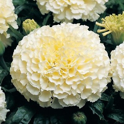 Marigold Seeds-FRENCH VANILLA-Soft Color Same as Rich Vanilla Ice Cream-25 Seeds