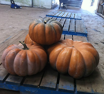 Pumpkin Seeds- INDIAN DOLL PUMPKIN - F1 Hybrid -Canadian 20 - 24 lbs.- 10 Seeds