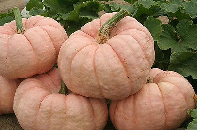 Pumpkin Seeds- PINK PUMPKIN - Porcelain Doll F1 Hybrid - Canadian - 10 Seeds