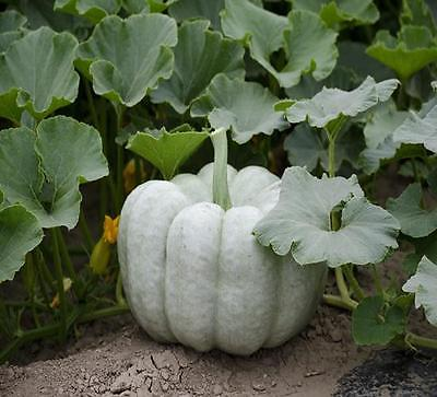 Pumpkin Seeds- BLUE DOLL PUMPKIN - F1 Hybrid - Canadian 20 - 24 lbs. - 10 Seeds