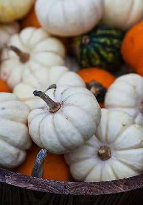 Cucurbita Pepo Seeds- MINI BABY BLUE- Adorable - Hallowe'en - Edible - 50+ Seeds
