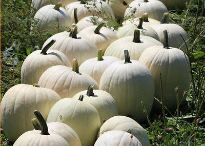 Cotton Candy Pumpkin Seeds -Pure White Pumpkins-Bulk-Edible - 50 Organic Seeds