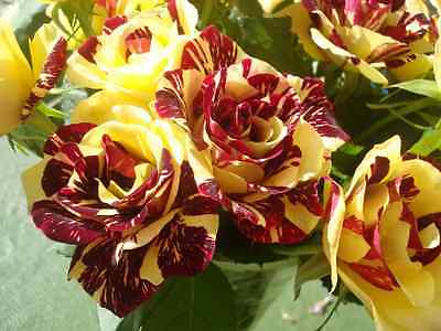 Abracadab Rose Seeds - Red & Yellow Striped Hybrid Tea Rose - Climbing -10 Seeds