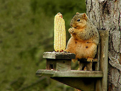 Grazing Corn Seeds - Livestock & Small Pet Feed - theseedhouse - 50 Seeds