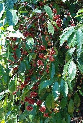 Coffee Bean Plant Seeds - BRAZILIAN SANTOS - High Quality Coffee - 100+ Seeds