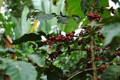 Coffee Plant Seeds - ETHIOPIAN DJIMMAH - Wild Grown - GMO FREE BEAN - 50 Seeds