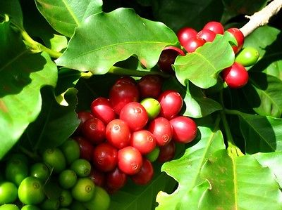 Coffee Plant Seeds - KENYA PEABERRY - MEDIUM STRONG BEANS - 50 Seeds