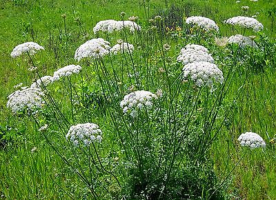 Queen Anne's Lace ✼ Elegant, White Lacey Flowers ✼  Drought Tolerant ✼ 50+ Seeds