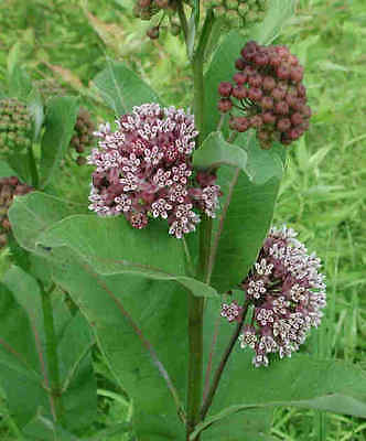 Asclepias Syringa Seeds -Unique Globe-Shaped Fragrant Blooms - 25+ Fresh Seeds