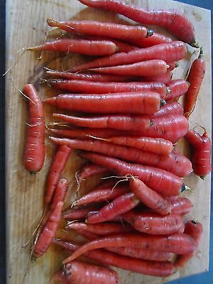 Carrot Seeds - NUTRI RED - Long, Slender, Red - Heirloom Garden - 500+ Seeds