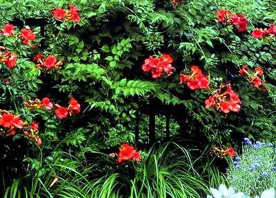 Orange Trumpet Vine - Attractive Flowers are Rich Orange and Scarlet-Red Combo