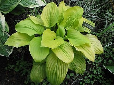 Hosta Plant - TORTILLA CHIP - Fragrant Flowers - Rabbit Resistant - 2 Shoots