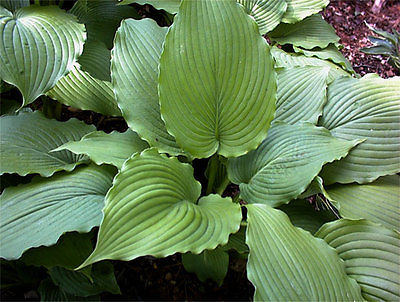 Hosta Plant - GREEN PIECRUST - Unique Foliage - Shade Perennial - 2 Shoots