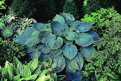 Hosta Plants - TOKUDAMA - Shade Perennial - Rabbit Resistant - 2 Shoots