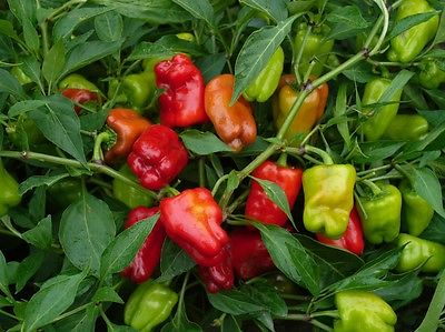 Hot Pepper Seeds - CAJUN BELLE - Hybrid Hot Pepper - Gmo Free - 10 Seeds