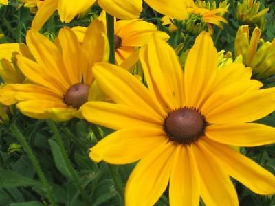 Black Eyed Susan - North America's Most Common Daisy - theseedhouse - 400+ Seeds